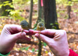 An Orange-crowned Warbler and a Tennessee Warbler