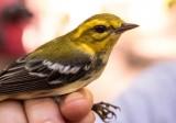 Bird Banding, September 7, 2014