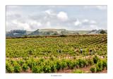 Ultimos campos de viñedos, pronto los campos de cereales irán ganando terreno progresivamente a la vid