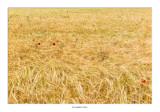 Continuamos acompañados por los campos de cereales