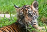 San Francisco Zoo's Tiger Cub, Jillian, and mom, May 7, 2013 #sftigercub
