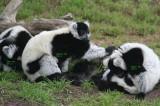 Lemurs. This one has labels. #0400t