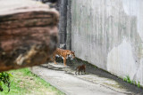 TEMPORARY subfolder for some tiger cub and other zoo shots May 8