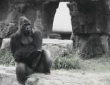 Gorilla Gestural Communication study - SF Zoo. #1317bw