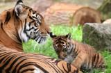 Closeup of Cub practicing stalking look. #0707cr