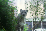 One of two snow leopards. Very sweet-tempered. #1716