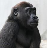 Gorilla and Tiger Cubs + Plexiglass - June 7th & May visits