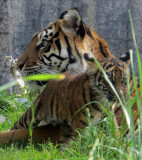 Tiger cub Jillian and her mother, Leanne. #2685