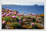 Sea Pinks and Bass Rock