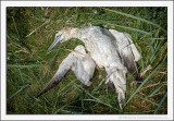 Gannet No More
