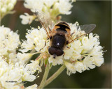 Bee mimic