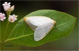 Dogbane Tiger Moth's