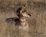 Pronghorn Antelope (juvenile)
