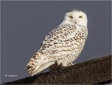 Snowy Owl   (first of the winter)
