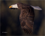Bald Eagle  (Tight in the frame but that is how it was shot)
