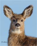 Mule Deer (yearling)