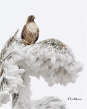 Red-tailed Hawk / frosty tree