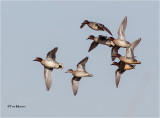 Green-winged Teal (courtship Flight)