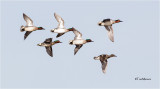Green-winged Teal (courtship flight )