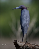 Little-blue Heron
