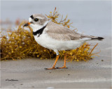 Piping Plover with license  plates