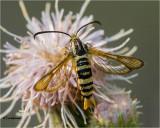Synanthendon bibionipennis (Clearwing Moth)
