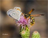 Acmon Blue-Paper Wasp