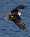 Bald Eagle-web.jpg