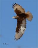 Ferruginous Hawk  (dark Morph)