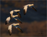 Ross's- Snow Geese