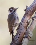 Arizona Woodpecker  (female)