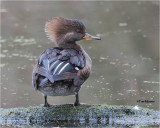 Hooded Merganser (female)