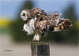 Short-eared Owl  (fluff those feathers up)