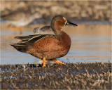 Cinnamon X Blue-winged Teal