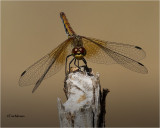 Band-winged-Meadowhawk