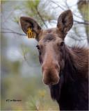 Moose #151