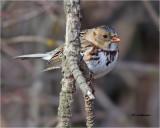 Harris's Sparrow (a rare bird for our area)