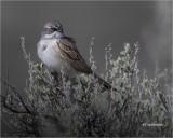 Sagebrush Sparrow  (Perched on Sage)