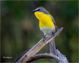 Yellow -breasted Chat
