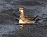Red necked Phalarope  (male)