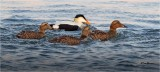 Common Eiders