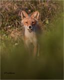 Fox  (with an Egg)