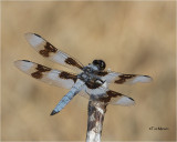 Eight-spotted Skimmer
