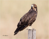 Swainson's Hawk'