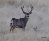 Mule Deer  (Early Morning)