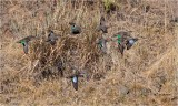Blue & Green-winged Teal