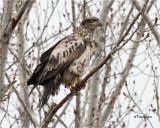 Bald Eagle (2nd year bird)