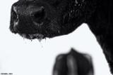 Bulls Nose