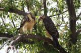 Swainson Hawks