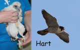 Hart (male) 2012 & 2014 Radisson & now HSC